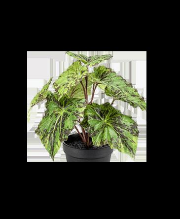 bladeren van een begonia kunstplant groen met zwart