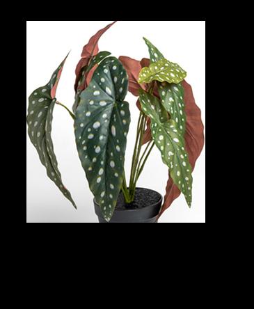 een begonia maculata met groene bladeren en witte stippen zonder steel en plantenpot