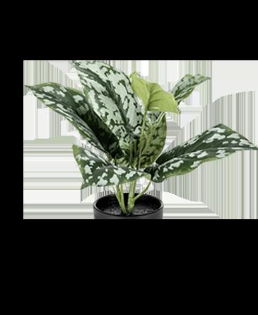 een scindapsus pictus zilverplant met groene bladeren en en witte stippen zonder steel of plantenpot