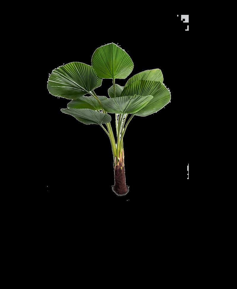 de waaierbladeren van een Chinese kunstplant waaierpalm