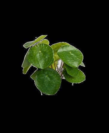 bladeren van een kunst pannenkoekplant