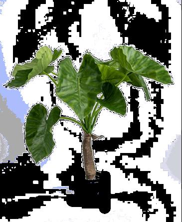 de bladeren van een kunst Alocasia plant zonder pot