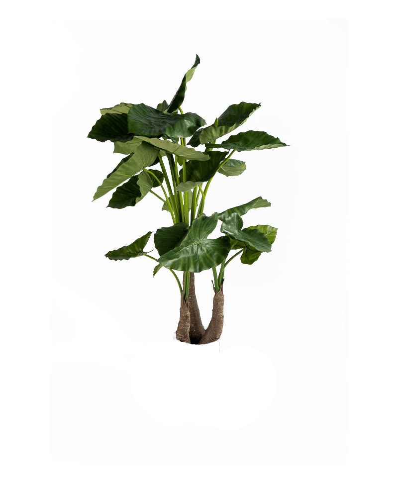 de bladeren van een kunst Alocasia 120 centimeter